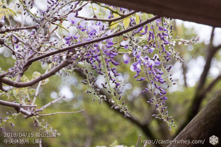 wisteria-flowers20180415_04