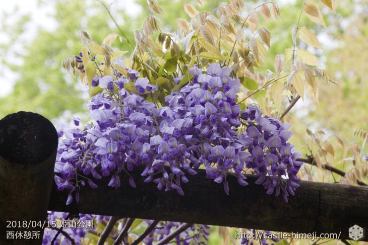 wisteria-flowers20180415_07