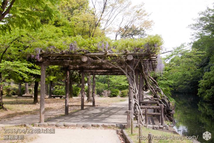 wisteria-flowers20180422_01