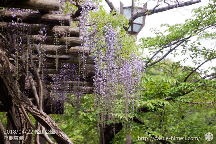 wisteria-flowers20180422_02