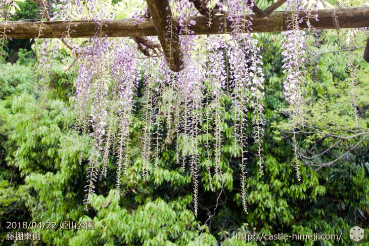 wisteria-flowers20180422_03