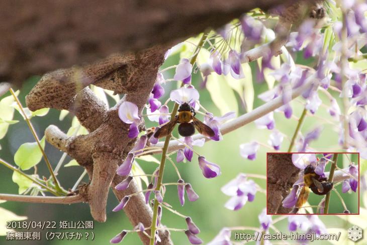 wisteria-flowers20180422_04
