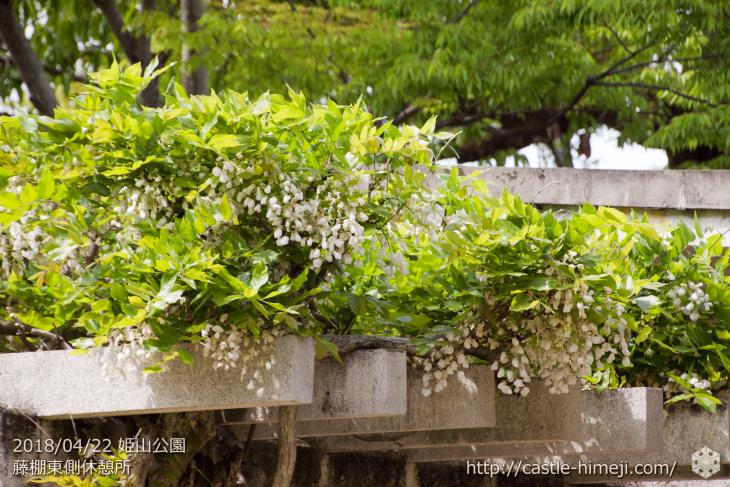 wisteria-flowers20180422_05