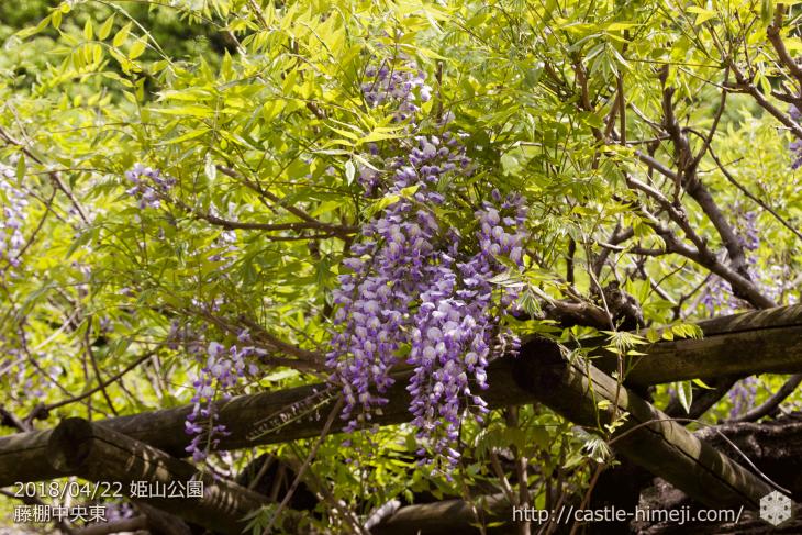 wisteria-flowers20180422_07