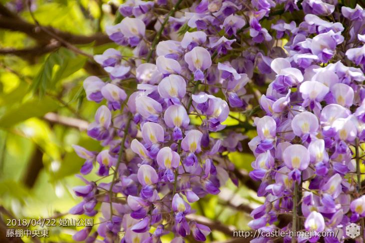 wisteria-flowers20180422_08