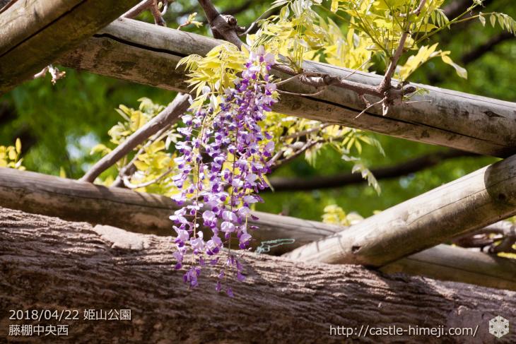 wisteria-flowers20180422_10