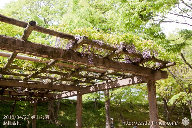 wisteria-flowers20180422_11