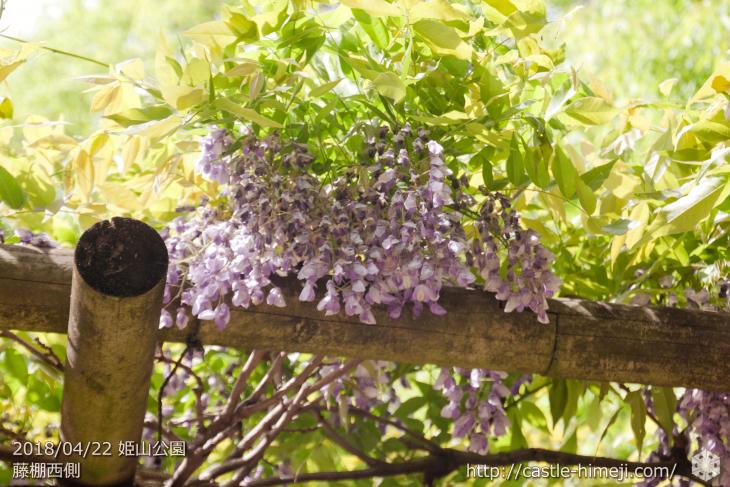 wisteria-flowers20180422_12