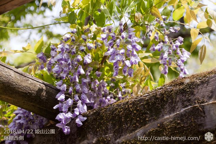 wisteria-flowers20180422_13