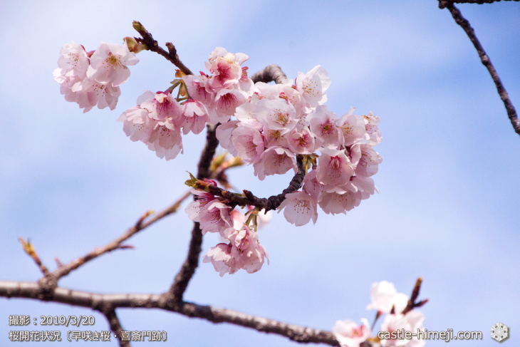 cherry-blossoms20190320_out_04