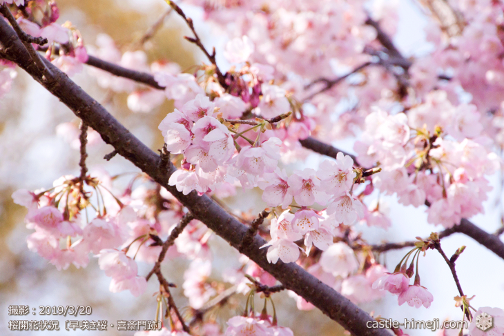 cherry-blossoms20190320_out_05
