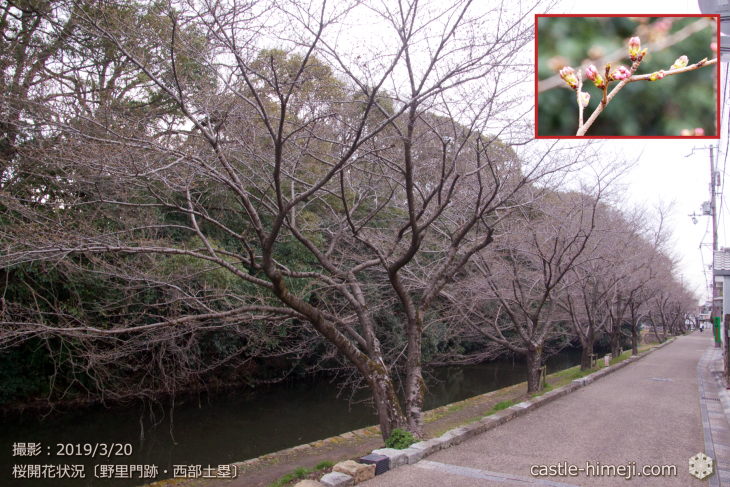 cherry-blossoms20190320_out_09