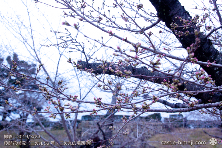 cherry-blossoms20190323_out_08