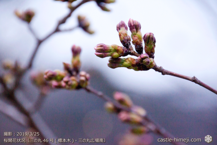 cherry-blossoms20190325_out1_03