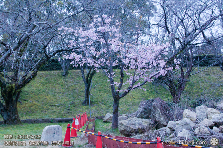 cherry-blossoms20190325_out1_04