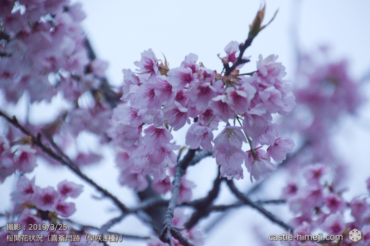 cherry-blossoms20190325_out1_05
