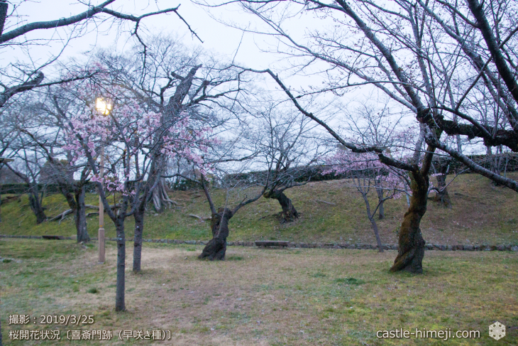 cherry-blossoms20190325_out1_06