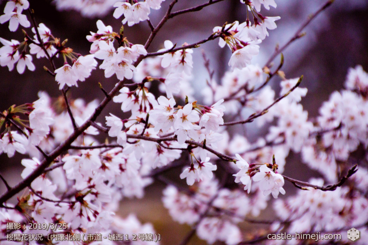 cherry-blossoms20190325_out2_07