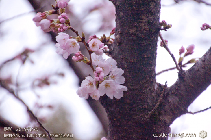 cherry-blossoms20190325_out2_17