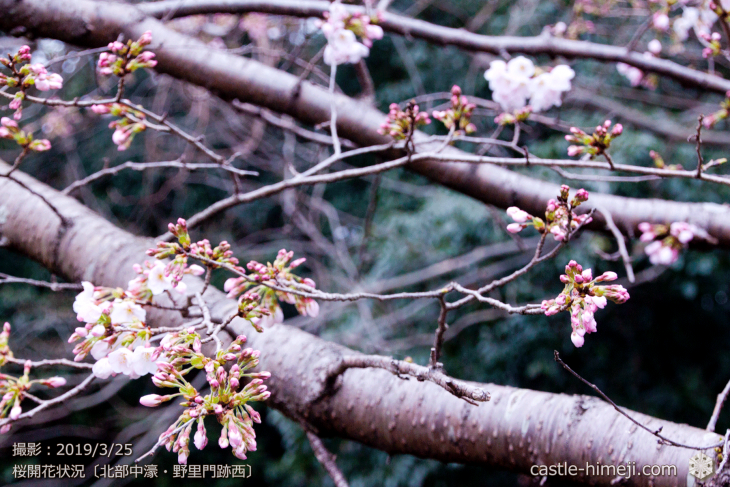 cherry-blossoms20190325_out2_20