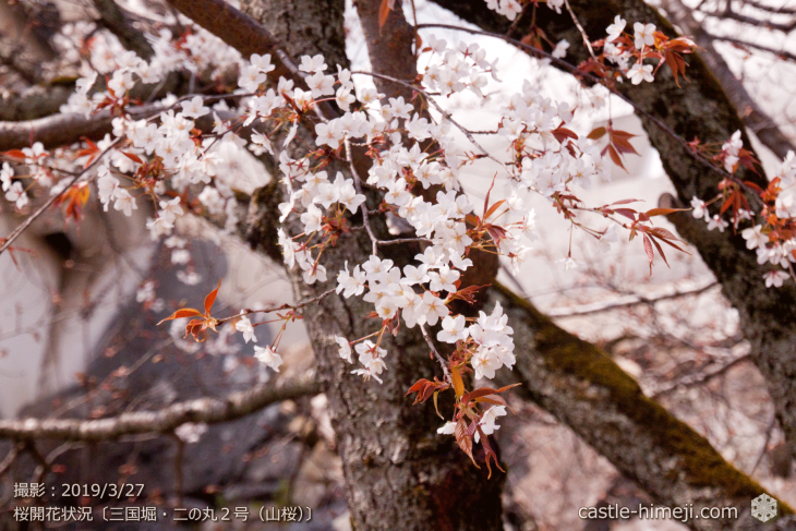 cherry-blossoms20190327_in1_06