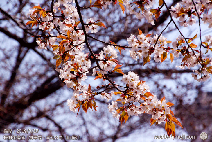 cherry-blossoms20190327_in1_10