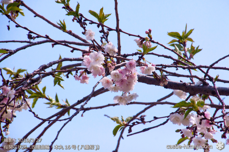 cherry-blossoms20190327_in1_12