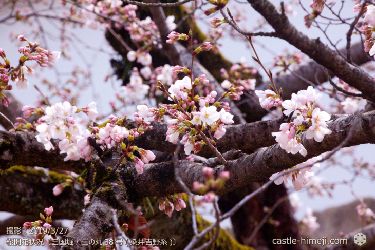cherry-blossoms20190327_in1_18