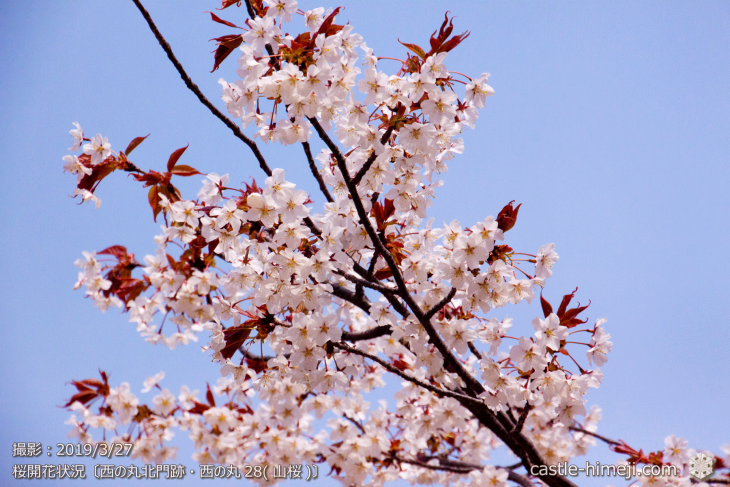 cherry-blossoms20190327_in2_06