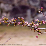 cherry-blossoms20190327_out1_05