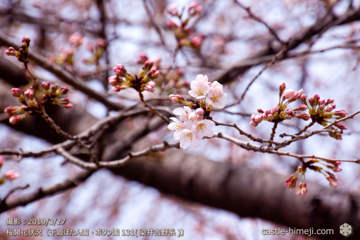 cherry-blossoms20190327_out1_10