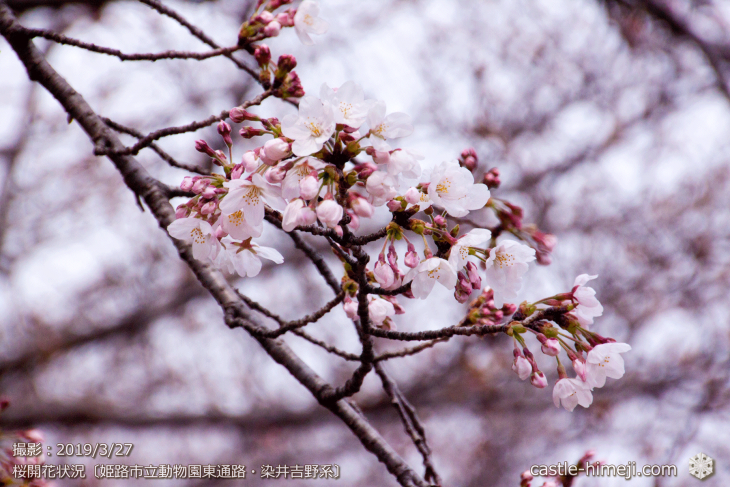 cherry-blossoms20190327_out1_21