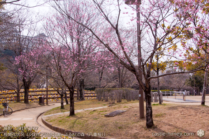 cherry-blossoms20190327_out2_12