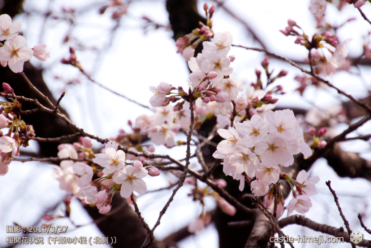 cherry-blossoms20190327_out3_11
