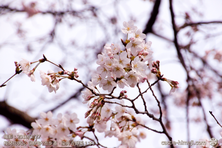 cherry-blossoms20190327_out4_05