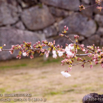 cherry-blossoms20190329_out1_02