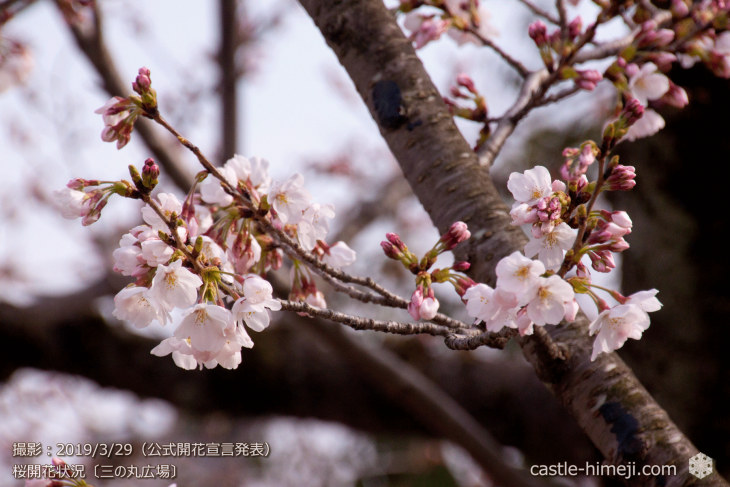cherry-blossoms20190329_out1_04