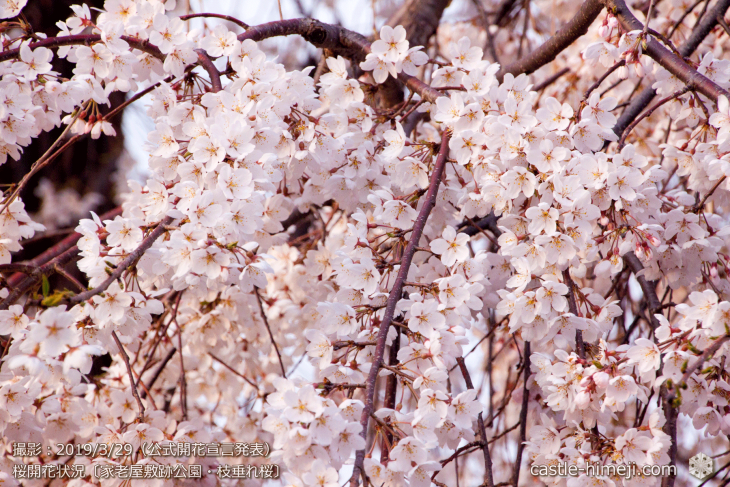 cherry-blossoms20190329_out3_09