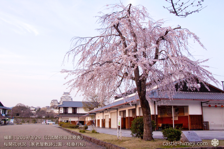 cherry-blossoms20190329_out3_10