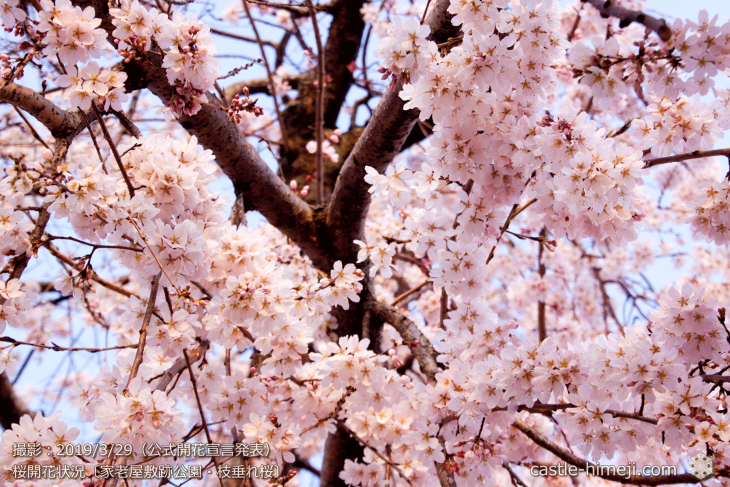 cherry-blossoms20190329_out3_11
