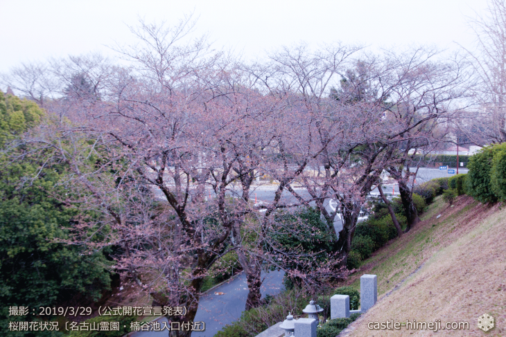 cherry-blossoms20190329_out3_13