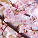 eye_cherry-blossoms20190320_out