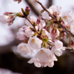 eye_cherry-blossoms20190329_out1