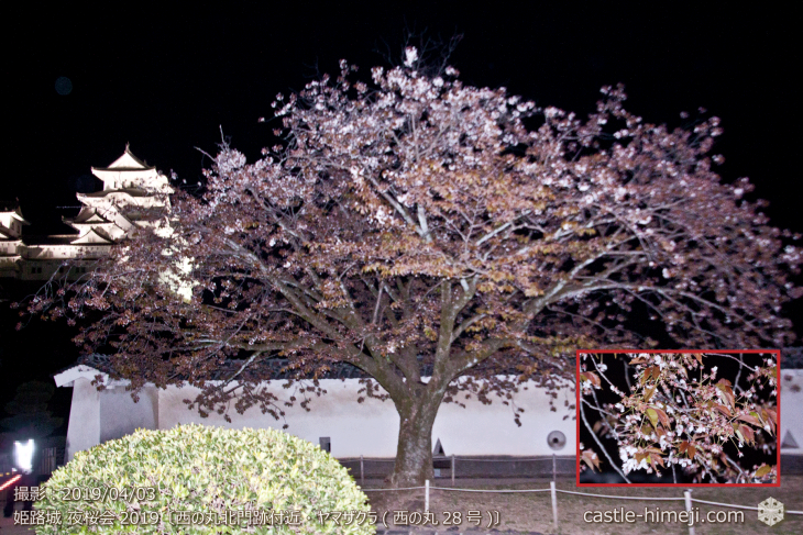 cherry-blossoms-night_1st_19