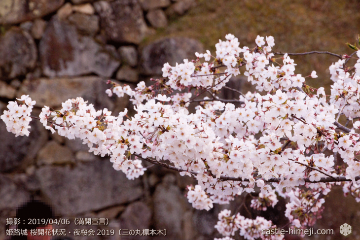 cherry-blossoms-night_2st_02
