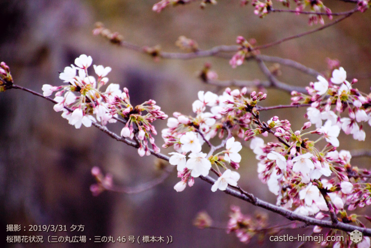 cherry-blossoms20190331_out1_02