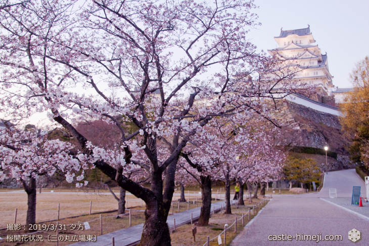 cherry-blossoms20190331_out1_06
