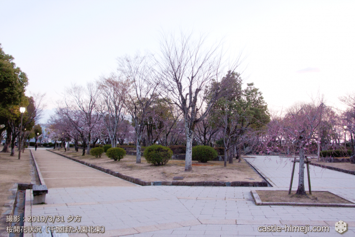 cherry-blossoms20190331_out1_09