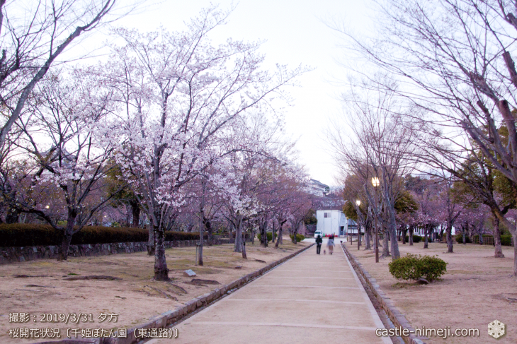 cherry-blossoms20190331_out1_10