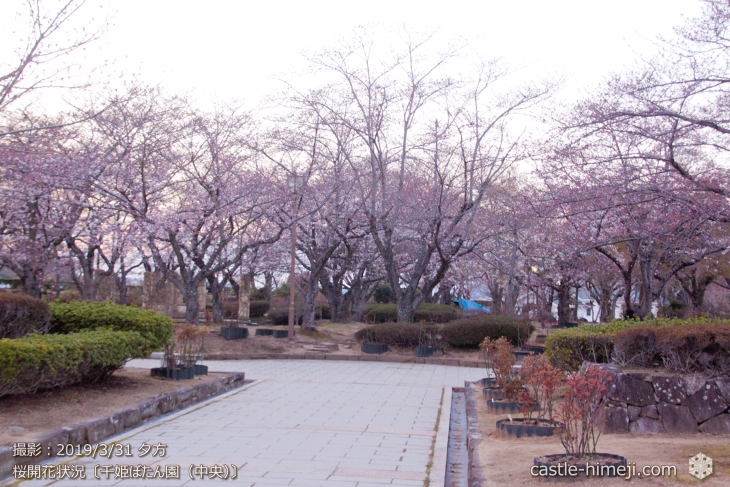 cherry-blossoms20190331_out1_11